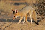 cape fox poster