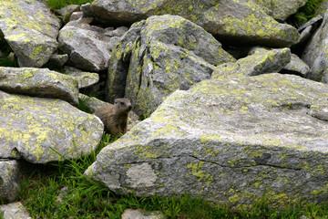 marmot between rocks