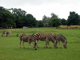 zebra in the zoo poster