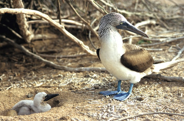 blue footed booby - parent and chick