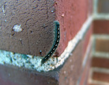 catapillar crawling down brick wall poster