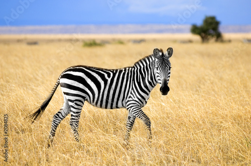 Foto op Canvas Zebra zèbre