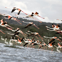 envol de flamants roses