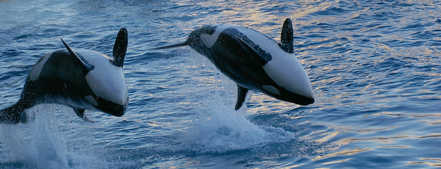 duo d'orques