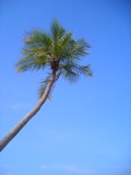 single coconut palm against blue sky with copyspac poster