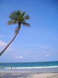 coconut tree on beach @ bintan, indonesia poster