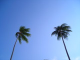 two coconut trees with lots of copyspace poster