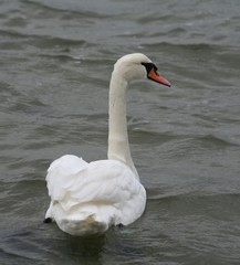 swan looking sidewards