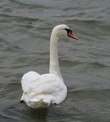 swan looking sidewards