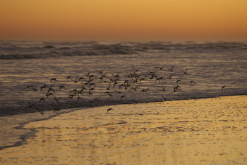 sand pipers in sunset flight