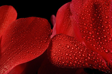 extreme macro detail of a wet cyclamen flower