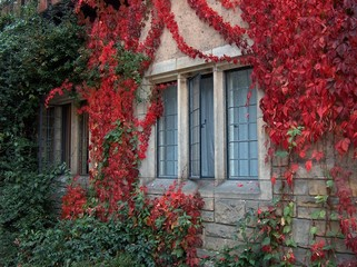 a window covered with autumn red ivy