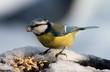 roleta: blue tit bird eating seeds