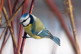 blue tit in the bushes poster