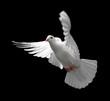 Leinwanddruck Bild white dove in flight 9