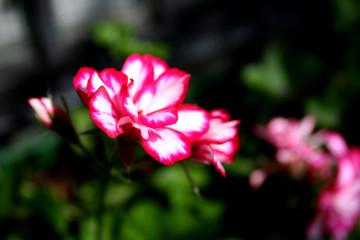 fiori in giardino rossi e bianchi