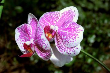 due orchidee viola e bianche in fiore