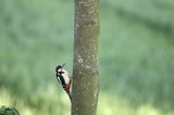 greater spotted woodpecker feeding poster