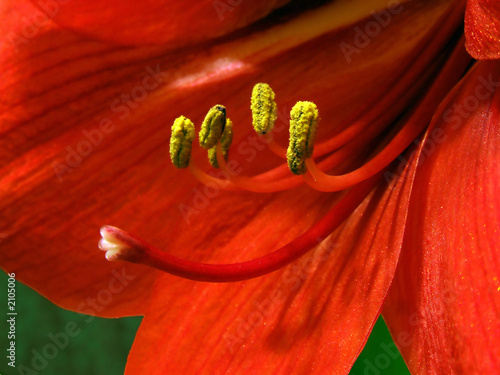 macro shot of a red amarilis flower with stamen