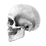 human skull - side - pencil drawing style - this poster