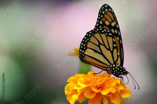 Leinwanddruck Bild monarch butterfly