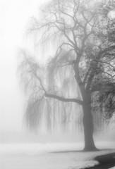 knarly tree in the fog