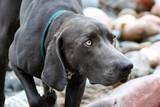 intense eye face dog point weim look watch rock poster