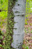 algae lichen on white birch tree michigan nature poster