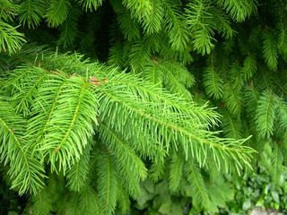 saturated green fir background