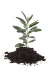 growing olive tree in soil poster