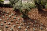 lavander and olive tree in pine bark poster
