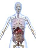 weibliche anatomie poster