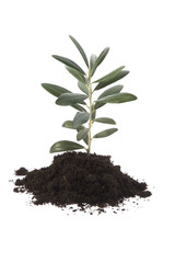 growing olive tree in soil