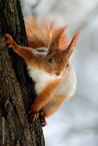 Aluminium Eekhoorn squirrel on the tree stem