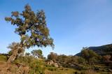 chêne liège dans le paysage