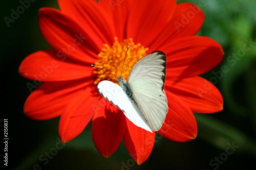 Leinwanddruck Bild white butterfly