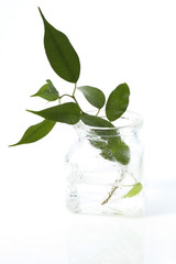 young ficus in the water