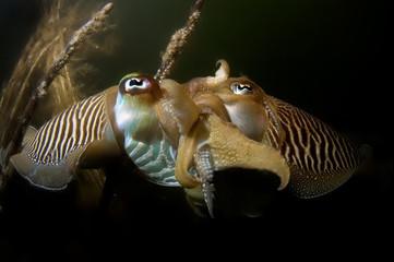 cuttlefish mating oosterschelde netherlands