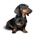 black and brown dog (dachshund) on poster