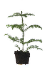 growing araucaria in soil