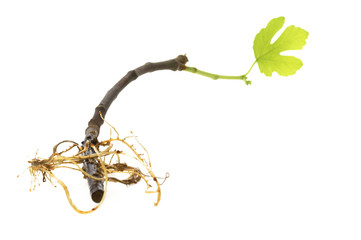 figs branch with root system