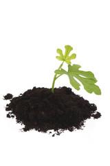 baby plant in soil. figs