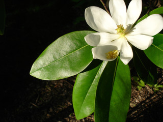 magnolia flower in sunlight