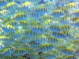 streifendoktorfische