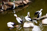 pelicans grooming poster
