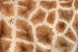 giraffe skin poster