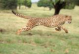 Fototapeta cheetah running