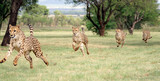 cheetah running sequence