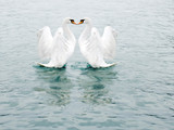 two fine white swans poster