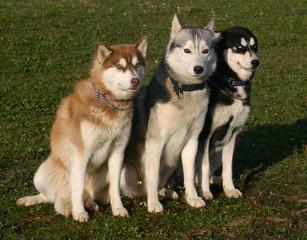 trois huskys